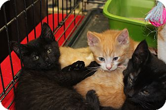 Domestic Shorthair Kitten for adoption in Santa Monica, California - Isabella