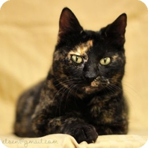 Domestic Shorthair Cat for adoption in Athens, Georgia - Scarlett