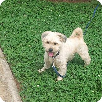 Border Terrier/Cairn Terrier Mix Dog for adoption in Indian Trail, North Carolina - Kirby
