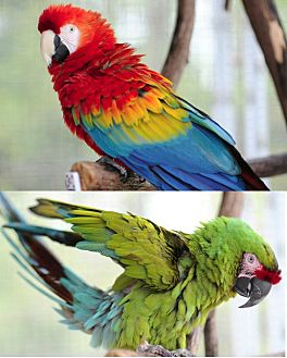 Macaw for adoption in Asheville, North Carolina - QUORK and BETSY