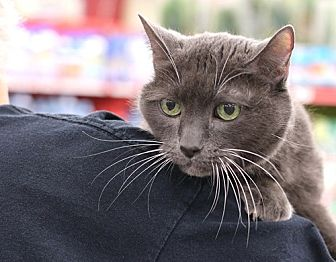 Russian Blue Cat for adoption in Westchester, California - Harley