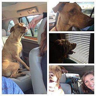 Vizsla/Pit Bull Terrier Mix Dog for adoption in Winchester, Virginia - Jake