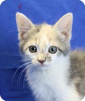 Domestic Shorthair Kitten for adoption in Winston-Salem, North Carolina - Jennie