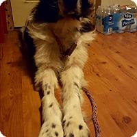 Adopt A Pet :: Liberace - Cleveland, OH