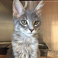 Domestic Mediumhair Kitten for adoption in Pompano Beach, Florida - 9135