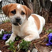 Adopt A Pet :: Cindy Lou - Tyler, TX