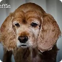 Adopt A Pet :: STEFFI - BROOKSVILLE, FL