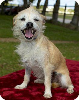 Standard Schnauzer/Norwich Terrier Mix Dog for adoption in Santa Fe, Texas - Millie Sweet Girl--N