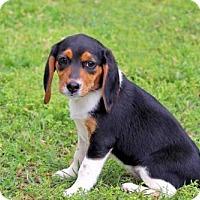 Adopt A Pet :: PUPPY CLOVER - Spring Valley, NY