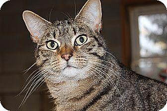 Manx Cat for adoption in Maxwelton, West Virginia - Bingo