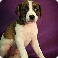 Adopt A Pet :: Bikini - Broomfield, CO