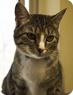 Domestic Shorthair Cat for adoption in Fremont, Nebraska - Laney