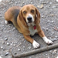 Beagle/Basset Hound Mix Dog for adoption in Texico, Illinois - Buddy - 35 lbs