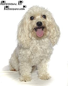 Poodle (Toy or Tea Cup) Dog for adoption in Fort Lauderdale, Florida - Little Girl