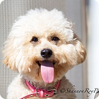 Adopt A Pet :: Pom Pom - Vacaville, CA