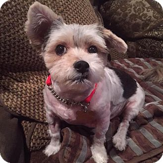 Yorkie, Yorkshire Terrier Mix Dog for adoption in Los Angeles, California - SYLVIE