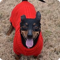 Miniature Pinscher/Dachshund Mix Dog for adoption in Nyack, New York - Gonzo