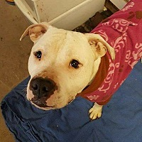 Adopt A Pet :: Chance - Lakeville, MN