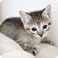 Maine Coon Kitten for adoption in Los Angeles, California - Minerva