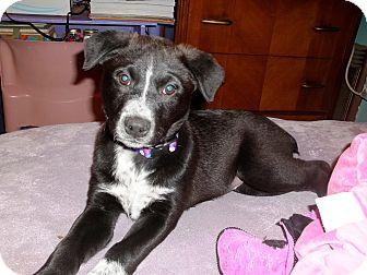 Australian Cattle Dog/Labrador Retriever Mix Puppy for adoption in Groton, Massachusetts - Princess Tea Pot