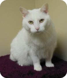 Domestic Shorthair Cat for adoption in Gary, Indiana - Sammy