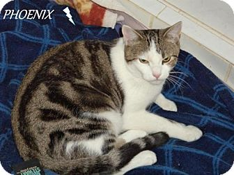 Domestic Shorthair Cat for adoption in River Edge, New Jersey - Phoenix