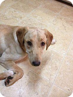 Labrador Retriever Mix Dog for adoption in Cumming, Georgia - Mynx