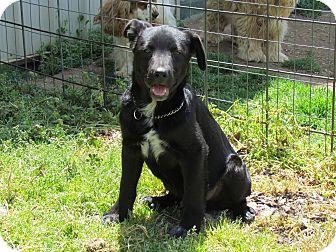 Australian Cattle Dog/Labrador Retriever Mix Dog for adoption in Humboldt, Tennessee - BENTLEY