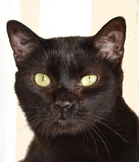 Domestic Shorthair Cat for adoption in Jackson, Mississippi - Izzy
