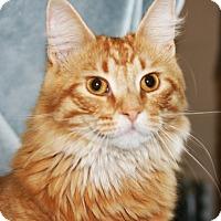 Domestic Longhair Cat for adoption in O Fallon, Illinois - Simba