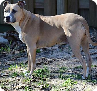 American Pit Bull Terrier Mix Dog for adoption in Tallahassee, Florida - Bella