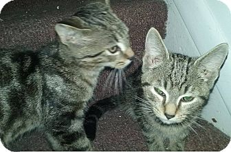 Domestic Shorthair Kitten for adoption in Mt Pleasant, Pennsylvania - Fritz and Fredrick