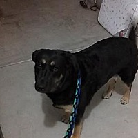 Adopt A Pet :: ZZ-Paula *courtesy post - Rancho Santa Margarita, CA