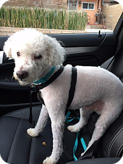 Miniature Poodle Mix Dog for adoption in West Hollywood, California - Bentley