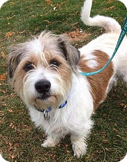 Norfolk Terrier Mix Dog for adoption in Fort Collins, Colorado - Baby