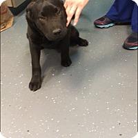 Adopt A Pet :: Ralphie - available 3/26 - Sparta, NJ