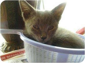 Domestic Shorthair Kitten for adoption in Medford, New Jersey - Joey