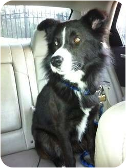 Border Collie Dog for adoption in Kingwood, Texas - Lucky