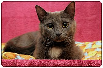 Domestic Shorthair Cat for adoption in Sterling Heights, Michigan - Simone - ADOPTED!