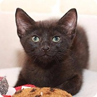 Domestic Shorthair Cat for adoption in Rossville, Tennessee - Zimba