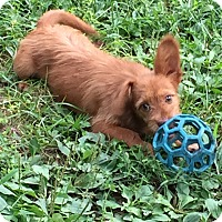 Adopt A Pet :: Andy - Owensboro, KY