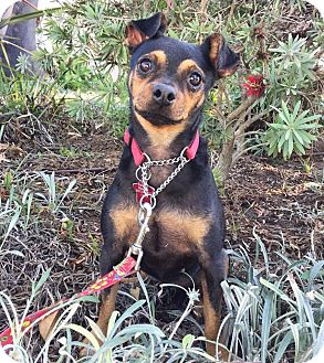 Miniature Pinscher Mix Dog for adoption in santa monica, California - Sadie