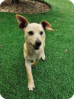 Terrier (Unknown Type, Small)/Chihuahua Mix Puppy for adoption in Dublin, California - Sanchez
