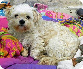 Maltese Mix Dog for adoption in Fresno, California - Wilson
