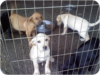 Labrador Retriever Mix Puppy for adoption in Wilmington, Delaware - 2 Lab pups