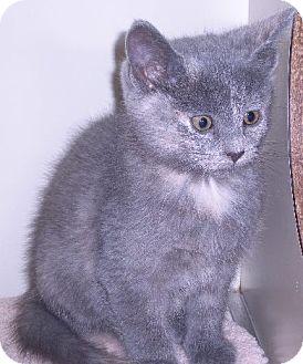 Calico Kitten for adoption in New Castle, Pennsylvania - Mirage