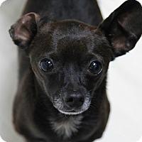 Adopt A Pet :: Chamberlain - Mission Viejo, CA
