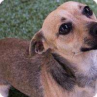 Adopt A Pet :: Patriot - Mission Viejo, CA
