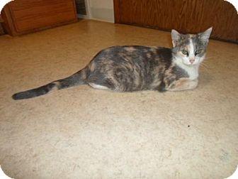 Domestic Shorthair Cat for adoption in Montello, Wisconsin - Sofia
