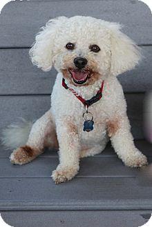 Bichon Frise/Poodle (Miniature) Mix Dog for adoption in Carlsbad, California - Matisse